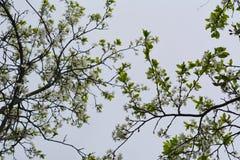 Bloeiende kersenbomen Takken met witte bloemen en jonge bladeren Mooie scène in de lentetuin royalty-vrije stock foto
