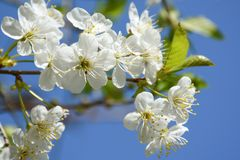 Bloeiende kersenboom stock afbeelding