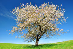 Bloeiende kersenboom Royalty-vrije Stock Foto