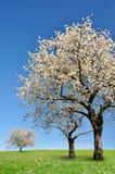 Bloeiende kersenboom Stock Foto's