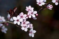 Bloeiende kersenboom Royalty-vrije Stock Foto's