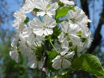 Bloeiende kersenboom in de lente Royalty-vrije Stock Foto