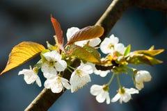 Bloeiende kersenboom in de lente Stock Foto