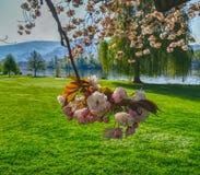 Bloeiende kersenboom in Heidelberg stock afbeeldingen