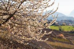 Bloeiende kersenboom in Sion, Zwitserland stock afbeeldingen