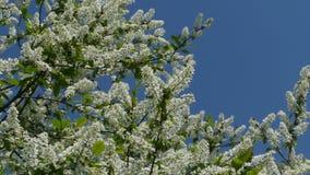 Bloeiende kersenboom tegen de blauwe hemel stock video