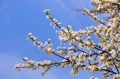 Bloeiende kersenpruim tegen een blauwe hemel stock fotografie