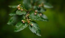 Bloeiende kersentak onmiddellijk na de regen stock afbeeldingen