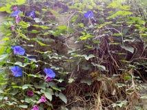 Bloeiende klimplanten op rotsachtige muur Royalty-vrije Stock Fotografie