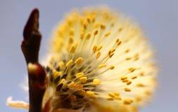Bloeiende knop van Salix Caprea, close-up Royalty-vrije Stock Foto