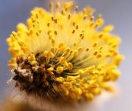 Bloeiende knop van Salix Caprea, close-up Royalty-vrije Stock Afbeelding