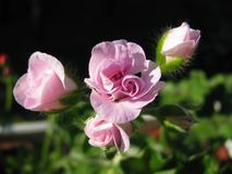 Bloeiende knoppen van de klimop-blad lichtrose Ooievaarsbekchiffon Royalty-vrije Stock Foto