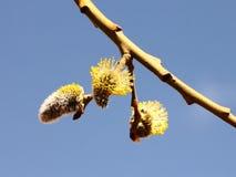 Bloeiende knoppen van Salix Caprea, close-up Stock Afbeeldingen