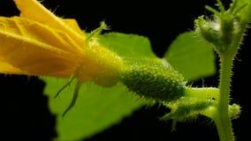 Bloeiende komkommer timelapse de groente groeit op bloeiende struik Het kweken van komkommers in serres Tuinzaken stock videobeelden