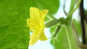 bloeiende komkommer Tuinzaken Gele bloemen van komkommersbloei op de struik bloeiende die komkommers in open worden gekweekt stock footage