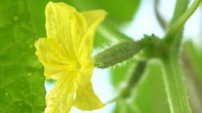 bloeiende komkommer Tuinzaken Gele bloemen van komkommersbloei op de struik bloeiende die komkommers in open worden gekweekt stock video