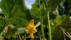 bloeiende komkommer Tuinzaken Gele bloemen van komkommersbloei op struik bloeiende komkommers die in open grond worden gekweekt p stock videobeelden