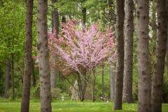 Bloeiende Kornoelje en Redbud-Bomen in een Pijnboom Forest Horizontal Stock Foto