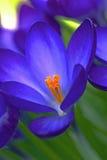 Bloeiende krokussen Stock Foto's