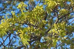 Bloeiende kroon van esdoornboom i Royalty-vrije Stock Fotografie