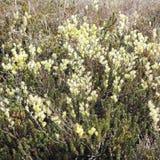 Bloeiende Kruipende wilg, Salix repens Stock Fotografie