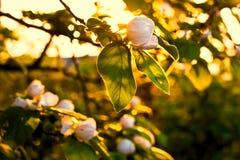 Bloeiende kweepeerboom op zachte zonneschijn stock fotografie