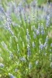 Bloeiende Lavendel Stock Afbeeldingen