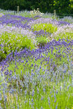 Bloeiende Lavendel Stock Foto's