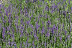 bloeiende lavendel Royalty-vrije Stock Foto