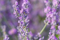 Bloeiende Lavendel Stock Foto