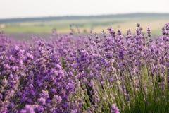 Bloeiende Lavendel Stock Afbeelding
