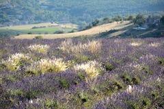 Bloeiende lavendel` s gebieden, met bossen van witte gekleurde grassen Stock Foto's