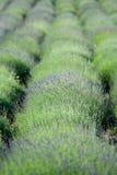 Bloeiende lavendelaanplanting Stock Afbeelding