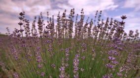 Bloeiende lavendelbloem dicht omhoog op een gebied in de Provence Frankrijk tegen een blauwe hemel en een wolkenachtergrond stock footage