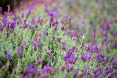 Bloeiende lavendelinstallaties bij het de Lavendellandbouwbedrijf van Alii Kula op Maui Stock Foto
