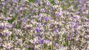 Bloeiende lavendelstruiken stock videobeelden
