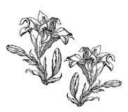 Bloeiende lelie Kaart of bloemenachtergrond met bloeiende leliesbloemen Stock Fotografie