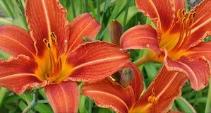 Bloeiende lelies Royalty-vrije Stock Afbeelding