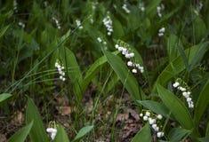 Bloeiende lelietje-van-dalen in de lenteopen plek stock foto's