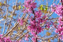 Bloeiende liefdeboom met roze bloemen royalty-vrije stock foto