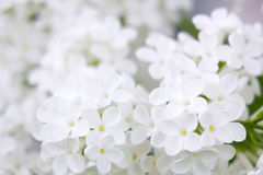 Bloeiende lilac bloemen Stock Foto