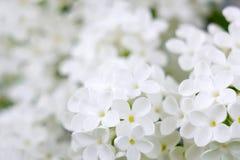 Bloeiende lilac bloemen Royalty-vrije Stock Afbeelding