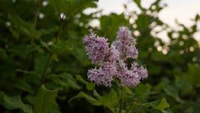 Bloeiende lilac bloesem stock footage