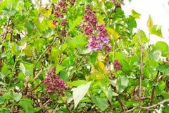 Bloeiende lilac boom Stock Afbeeldingen