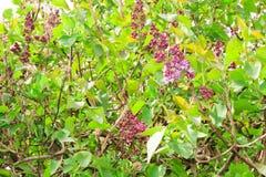 Bloeiende lilac boom Stock Foto