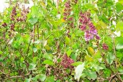 Bloeiende lilac boom Royalty-vrije Stock Foto