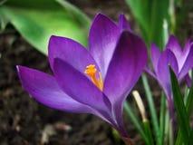 Bloeiende lilac krokussen Royalty-vrije Stock Fotografie