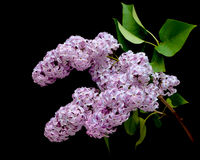 Bloeiende lilac tak (Syringa) close-up Stock Afbeeldingen