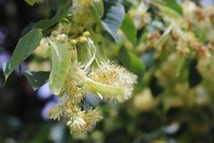 Bloeiende lindeboom Tuinen en tuinen Bomen voor honingbijen Stuifmeel en zoete geur Macrofotografie van aard royalty-vrije stock foto's
