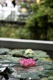 Bloeiende lotusbloem die op het het lotusbloemblad en water drijven Royalty-vrije Stock Foto
